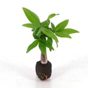 パキラ オアシス苗 観葉植物/ハイドロカルチャー/水耕栽培/インテリアグリーン|julli