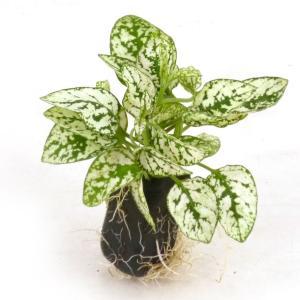 ヒポエステス ホワイト オアシス苗 観葉植物/ハイドロカルチャー/水耕栽培/インテリアグリーン|julli