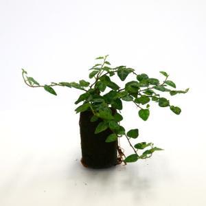 フィカスプミラ グリーンミニマ オアシス苗 観葉植物/ハイドロカルチャー/水耕栽培/インテリアグリーン|julli