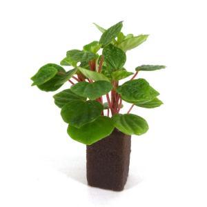 ペペロミア グリーンバレー オアシス苗 観葉植物/ハイドロカルチャー/水耕栽培/インテリアグリーン