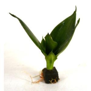 サンスベリア ピュアグリーン オアシス苗 観葉植物/ハイドロカルチャー/水耕栽培/インテリアグリーン|julli