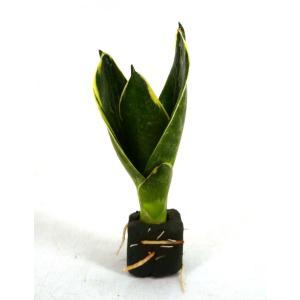 サンスベリア イエローマージン オアシス苗 観葉植物/ハイドロカルチャー/水耕栽培/インテリアグリーン|julli