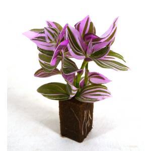 トラデスカンチア オアシス苗 観葉植物/ハイドロカルチャー/水耕栽培/インテリアグリーン|julli