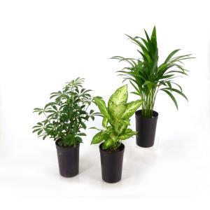 9cmL 土苗 観葉植物/インテリアグリーン|julli