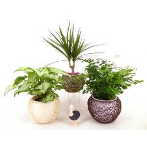 麻ボールL ハイミニ 3号苗 観葉植物/ハイドロカルチャー/水耕栽培/インテリアグリーン|julli