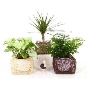 麻スクエアL 3号苗 観葉植物/ハイドロカルチャー/水耕栽培/インテリアグリーン|julli
