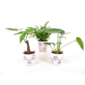 ハイミニアロハ 3号苗 観葉植物/ハイドロカルチャー/水耕栽培/インテリアグリーン|julli