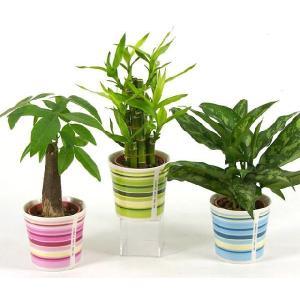 ハイミニウィンリー 3号苗 観葉植物/ハイドロカルチャー/水耕栽培/インテリアグリーン|julli