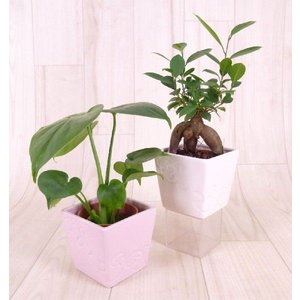 ハイミニエルバ 3号苗 観葉植物/ハイドロカルチャー/水耕栽培/インテリアグリーン|julli