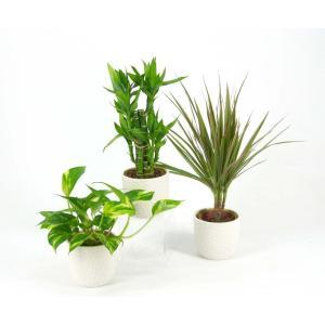在庫限り! ハイミニゴルフ 3号苗 観葉植物/ハイドロカルチャー/水耕栽培/インテリアグリーン|julli