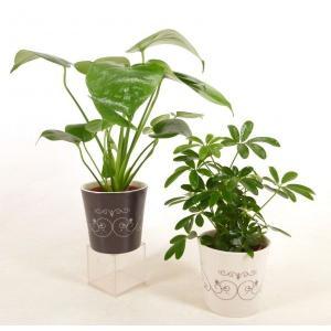 ハイミニステラ 3号苗 観葉植物/ハイドロカルチャー/水耕栽培/インテリアグリーン|julli