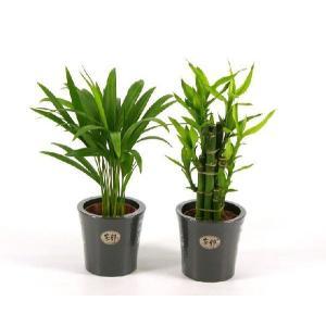 ハイミニ炭鉢 3号苗 観葉植物/ハイドロカルチャー/水耕栽培/インテリアグリーン|julli