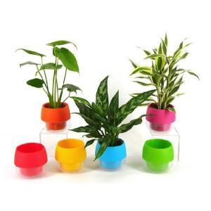 ハイミニビビ 3号苗 観葉植物/ハイドロカルチャー/水耕栽培/インテリアグリーン|julli