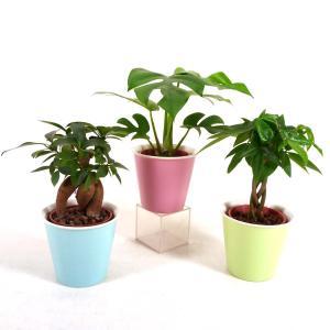 ハイミニひより 3号苗 観葉植物/ハイドロカルチャー/水耕栽培/インテリアグリーン|julli
