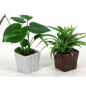 ハイミニリーガ 3号苗 観葉植物/ハイドロカルチャー/水耕栽培/インテリアグリーン|julli