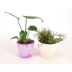 レースポット ハイミニ苗 3号苗 数量限定 観葉植物/ハイドロカルチャー/水耕栽培/インテリアグリーン|julli