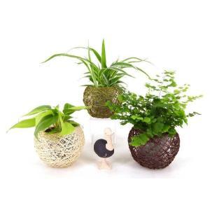 麻ボールM キュート 2号苗 観葉植物/ハイドロカルチャー/水耕栽培/インテリアグリーン|julli