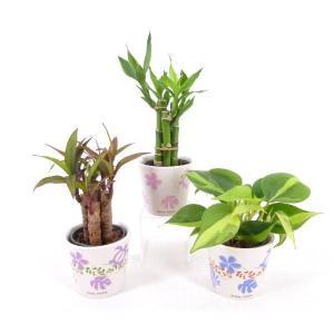 キュートアロハ 2号苗 観葉植物/ハイドロカルチャー/水耕栽培/インテリアグリーン|julli