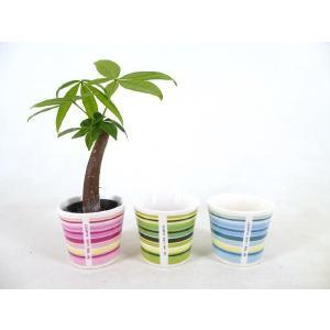 キュートウィンリー 2号苗 観葉植物/ハイドロカルチャー/水耕栽培/インテリアグリーン|julli