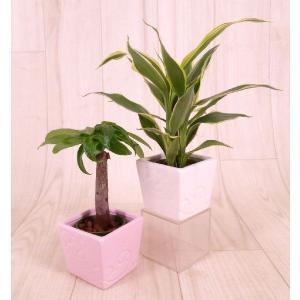 キュートエルバ 2号苗 観葉植物/ハイドロカルチャー/水耕栽培/インテリアグリーン|julli