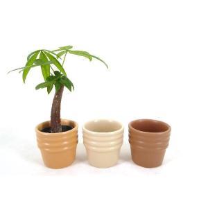 キュートショコラ 2号苗 観葉植物/ハイドロカルチャー/水耕栽培/インテリアグリーン|julli