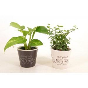 キュートステラ 2号苗 観葉植物/ハイドロカルチャー/水耕栽培/インテリアグリーン|julli