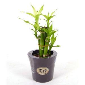 キュート炭鉢 2号苗 観葉植物/ハイドロカルチャー/水耕栽培/インテリアグリーン|julli