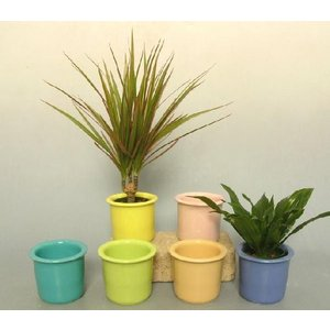 キュートパステル 2号苗 観葉植物/ハイドロカルチャー/水耕栽培/インテリアグリーン|julli