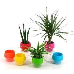 キュートビビ 2号苗 観葉植物/ハイドロカルチャー/水耕栽培/インテリアグリーン|julli