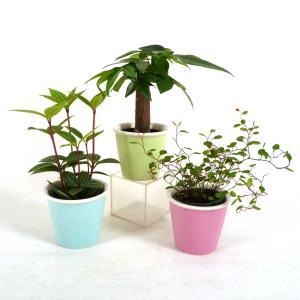 キュートひより 2号苗 観葉植物/ハイドロカルチャー/水耕栽培/インテリアグリーン|julli