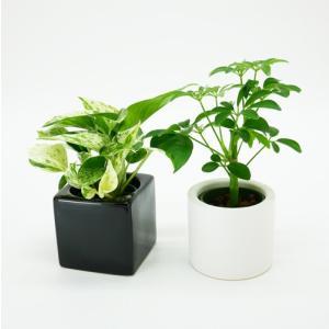 キュートフィット 2号苗 観葉植物/ハイドロカルチャー/水耕栽培/インテリアグリーン|julli