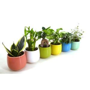 キュートみかげ 2号苗 観葉植物/ハイドロカルチャー/水耕栽培/インテリアグリーン|julli