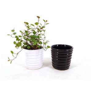 キュートみなも 2号苗 観葉植物/ハイドロカルチャー/水耕栽培/インテリアグリーン|julli
