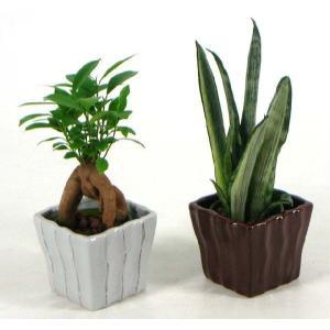 キュートリーガ 2号苗 観葉植物/ハイドロカルチャー/水耕栽培/インテリアグリーン|julli