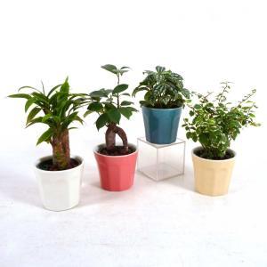 キュートロッチャ 2号苗 観葉植物/ハイドロカルチャー/水耕栽培/インテリアグリーン|julli