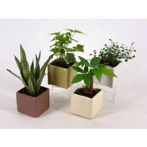 バーゼルキューブ  2号苗 観葉植物/ハイドロカルチャー/水耕栽培/インテリアグリーン|julli