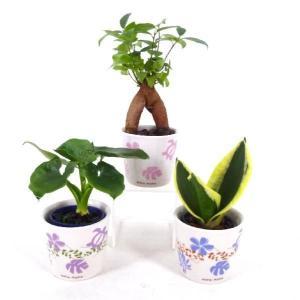 リトルアロハ 1.5号苗 観葉植物/ハイドロカルチャー/水耕栽培/インテリアグリーン|julli