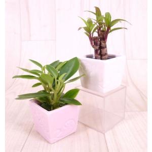 リトルエルバ 1.5号苗 観葉植物/ハイドロカルチャー/水耕栽培/インテリアグリーン|julli