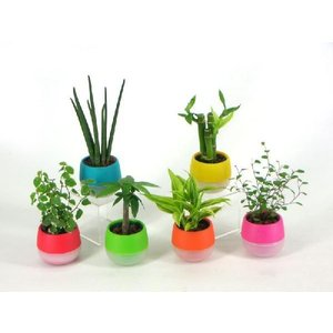 リトルビビ 1.5号苗 観葉植物/ハイドロカルチャー/水耕栽培/インテリアグリーン