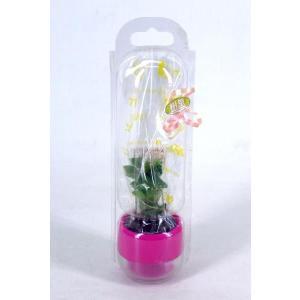 キュートビビ5個セット ギフトパック 送料無料 2号苗 観葉植物/ハイドロカルチャー/水耕栽培/インテリアグリーン|julli