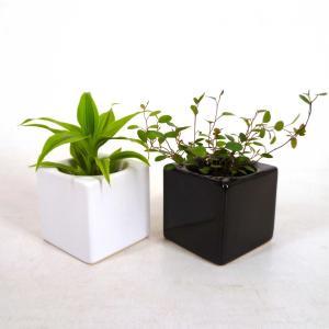 リトルフィット 1.5号苗 観葉植物/ハイドロカルチャー/水耕栽培/インテリアグリーン|julli