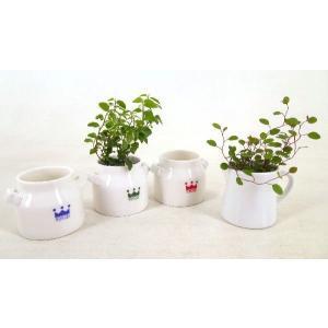 リトルミルク 1.5号苗 観葉植物/ハイドロカルチャー/水耕栽培/インテリアグリーン|julli
