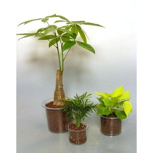 クリア180 ハイドロコーン植え 観葉植物/ハイドロカルチャー/水耕栽培/インテリアグリーン|julli