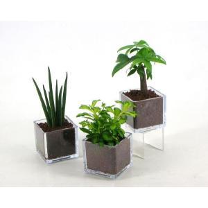 PキューブM ハイドロコーン植え 観葉植物/ハイドロカルチャー/水耕栽培/インテリアグリーン|julli
