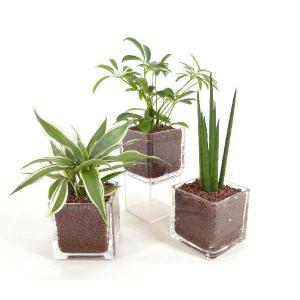 キュートキューブ ハイドロコーン植え 観葉植物/ハイドロカルチャー/水耕栽培/インテリアグリーン|julli
