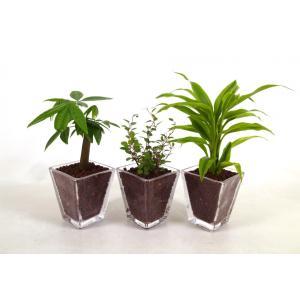 スクエアグラス ハイドロコーン植え 観葉植物/ハイドロカルチャー/水耕栽培/インテリアグリーン|julli