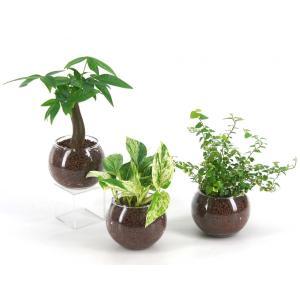 バルンボール100 ハイドロコーン植え 観葉植物/ハイドロカルチャー/水耕栽培/インテリアグリーン|julli