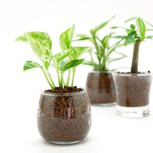 プチグリーン ハイドロコーン植え 観葉植物/ハイドロカルチャー/水耕栽培/インテリアグリーン