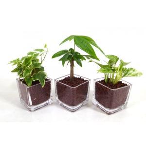 GブロックS キューブ 3個セット ハイドロコーン植え 観葉植物/ハイドロカルチャー/水耕栽培/インテリアグリーン|julli