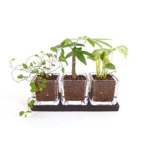 キュービックSS トリプル 皿付き ハイドロコーン植え 観葉植物/ハイドロカルチャー/水耕栽培/インテリアグリーン|julli